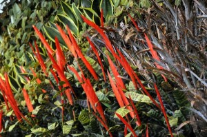 Flaming Sword Plant