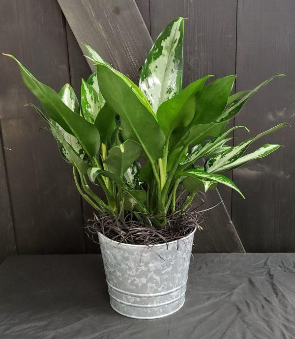 Aglaonema in metal planter